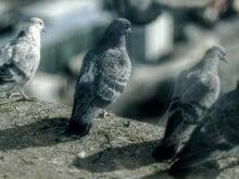controle de pombos porto alegre