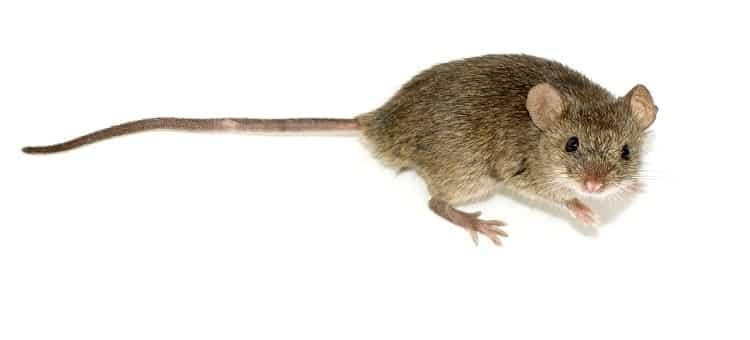 controle de ratos desratização porto alegre