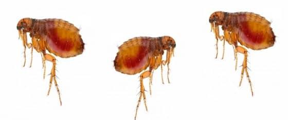 dedetização de pulgas porto alegre